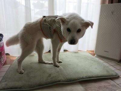 老犬介護用補助ベスト