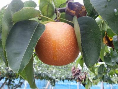 美味しそうな梨