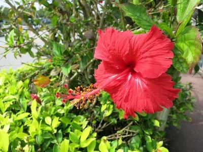 11月でもハイビスカスが咲いている