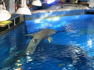 水槽上部から見たジンベイザメ