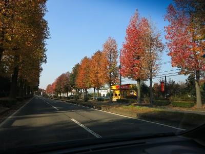 つくば学園都市の街路樹