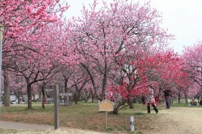 公園内に沢山の花桃