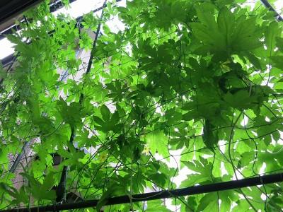 ゴーヤで緑のカーテン