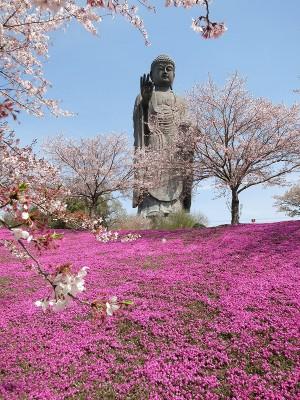 牛久大仏と桜