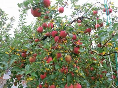 沢山のリンゴ