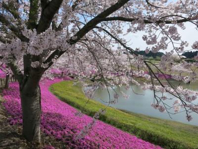 牛久大仏の桜&芝桜