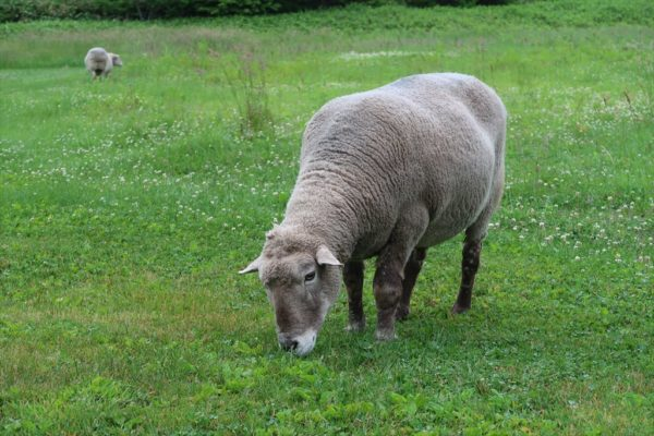 キャンプ場の羊