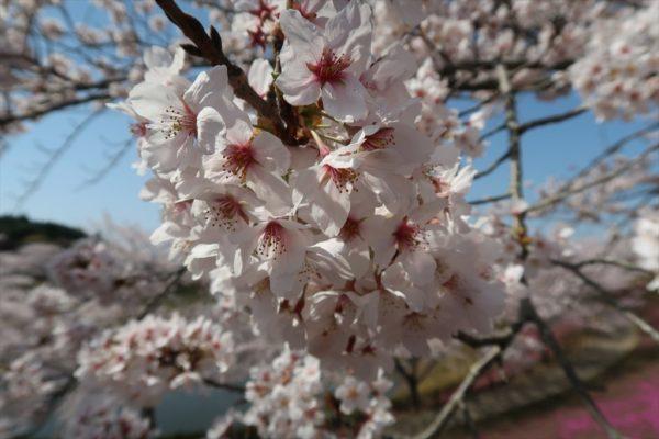 牛久大仏の桜