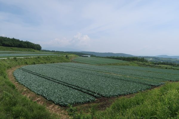 つまごいキャベツ畑