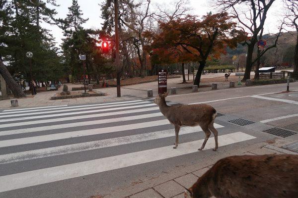 信号待ち?する鹿